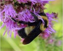 Bombus fraternus Southern Plains bumble bee on Liatris (courtesy Southwest Times Record)