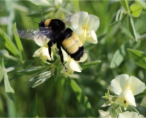American bumble bee & Large Bracted Wild Indigo in pasture