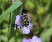 Hover flies look like bees & are important pollinators