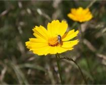 Megachile leafcutter bee