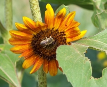 Summer sunflower with native bee