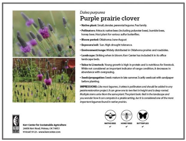 Pollinator Plant Profile: Purple Prairie Clover