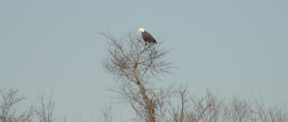 Conservation – Bald Eagle