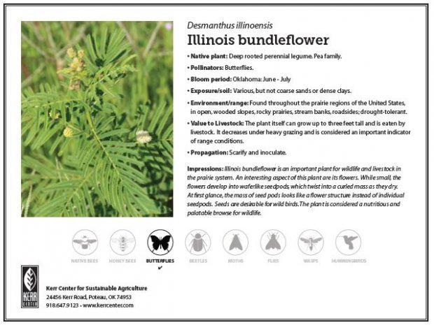 Pollinator Plant Profile: Illinois Bundleflower