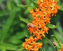 Butterfly milkweed & honey bee