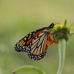 butterfly pollinator conservation fund