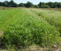 New Studies: Cover Crops Insure Soils against Extreme Weather; Crop Rotations Boost Beneficial Soil Microbes