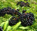 Oklahoma's Home-Grown Elderberry Experts