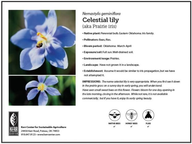 Pollinator Plant Profile: Celestial Lily