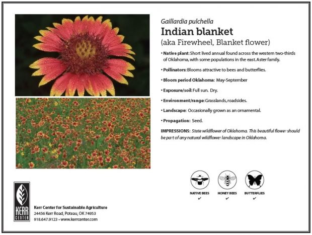 Pollinator Plant Profile: Indian blanket