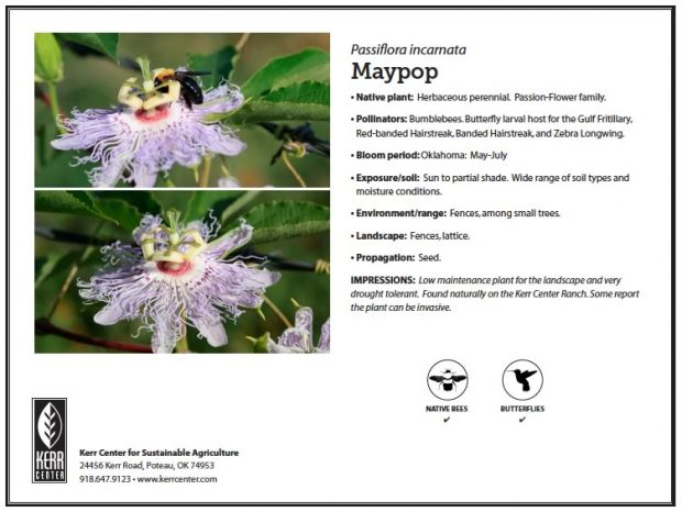 Pollinator Plant Profile: Maypop