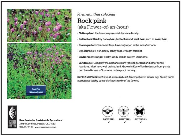 Pollinator Plant Profile: Rock Pink