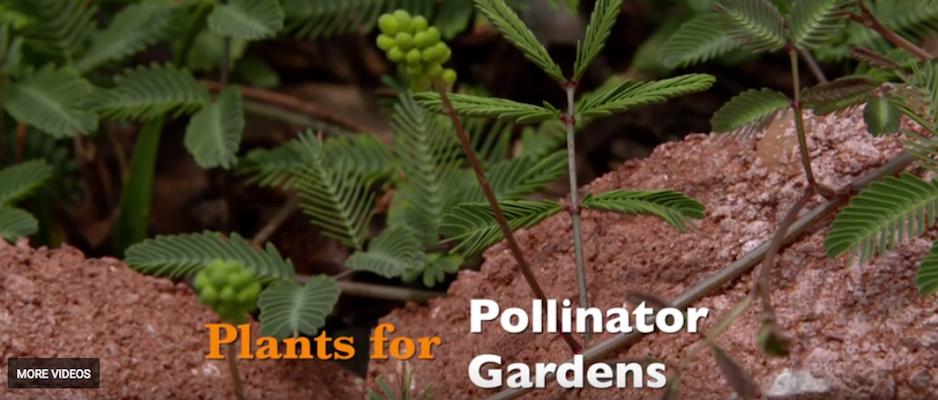 Plants for Pollinator Gardens (Oklahoma Gardening)