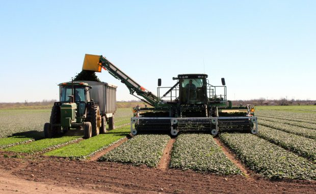 Texas Research Explores Spinach Varieties for Organic Production