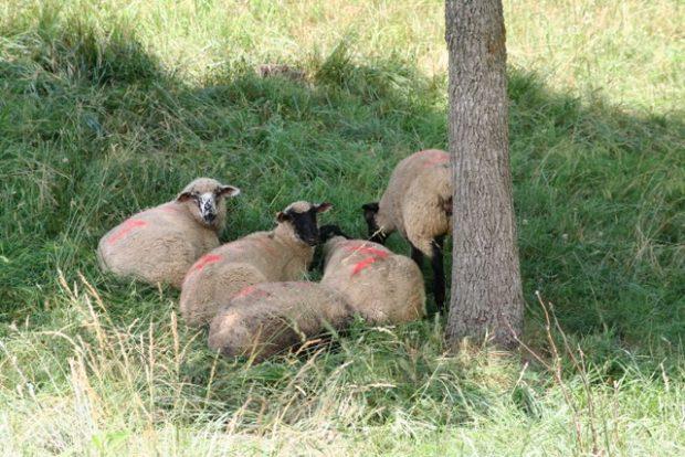 Livestock Welfare and Performance in Silvopastures