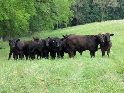 Beginning Livestock Workshop @ Judsonia, AR (Wholly Cow Farms)