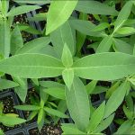 monarch watch milkweed pre-orders