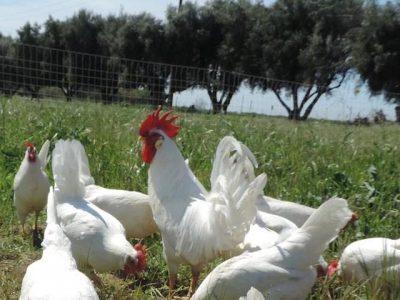 NCAT Pastured Poultry Webinar