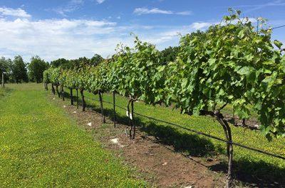 Grape Season Prep Workshop @ Perkins (Cimarron Valley Research Station)