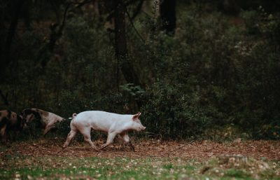 Webinar: Pigs-Poultry Rotational Grazing