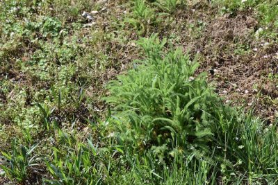 Common yarrow
