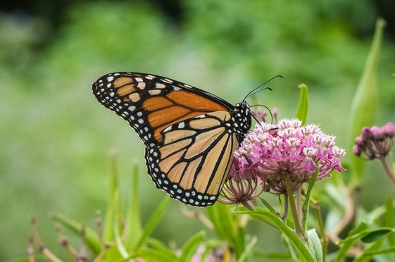 NRCS Assistance for Monarch Habitat