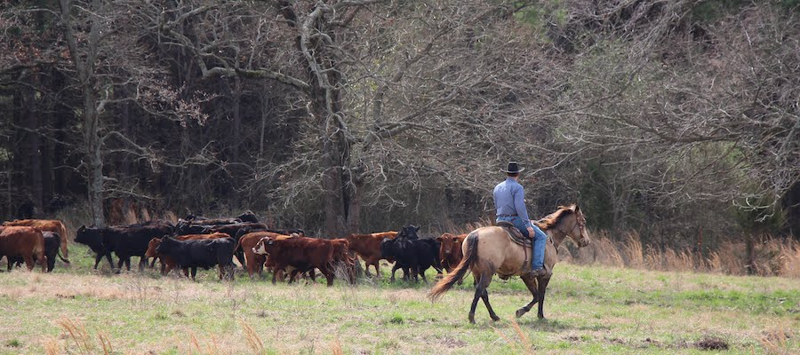 Moving Cattle on Horseback