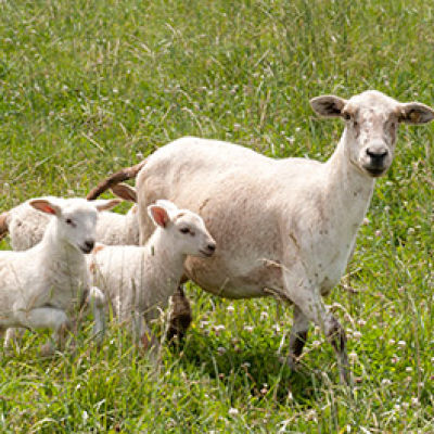 Webinar Series: Goat and Sheep Management
