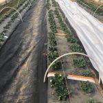 biopesticide strawberry plasticulture