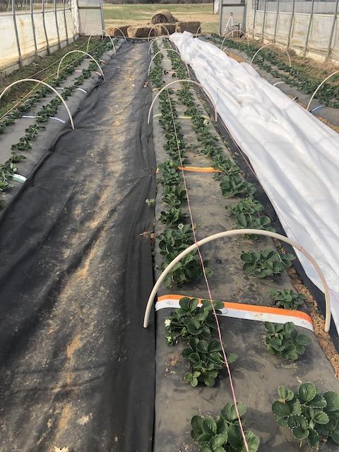 Biopesticides for Strawberry Plasticulture in High Tunnels