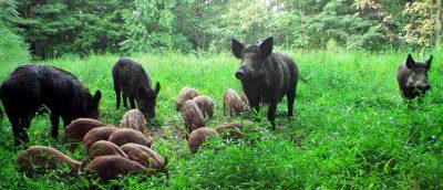 Webinar: Feral Swine Eradication Program @ online