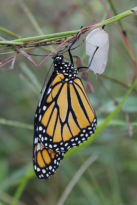 Webinar: Establishment and Management of Habitat for Monarchs and Its Value for Other Wildlife @ online