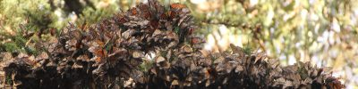 Recovery of the Monarch Butterfly: Federal and State Legislation (webinar) @ online