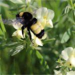 american bumblebee endangered